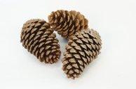 pine cones RBGstock